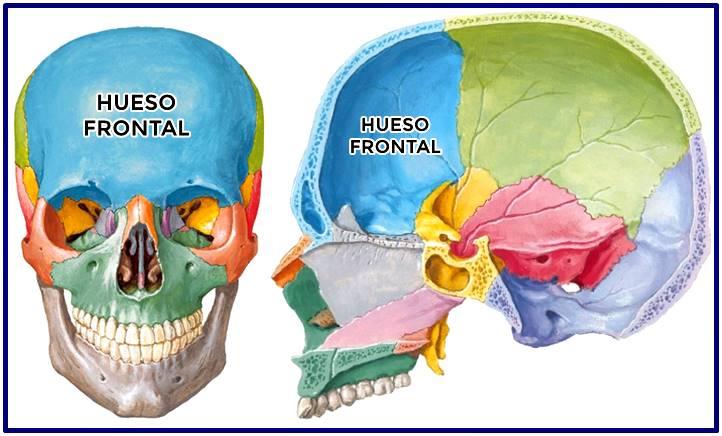 Hueso frontal del cráneo