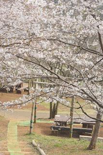 桜の開花状況 3/31