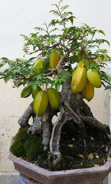 benih bonsai buah belimbing unggul 10 seed Kotamobagu