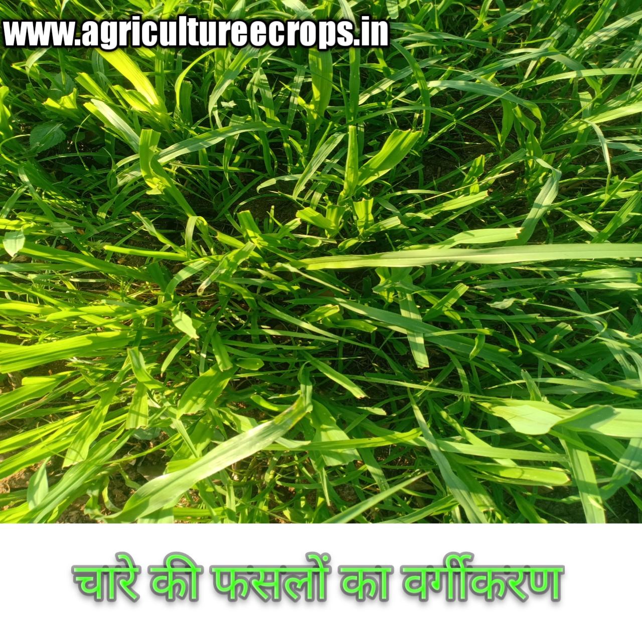 चारे की फसलों का वर्गीकरण तथा चारे की फसलों में पाये जाने वाले पोषक तत्वों का महत्व लिखिए हिन्दी में, classification of fodder crops