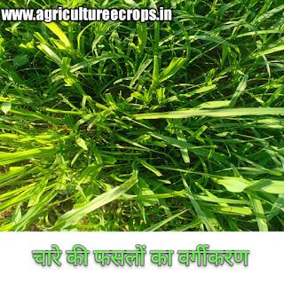 चारे की फसलों का वर्गीकरण कीजिए classification of fodder crops