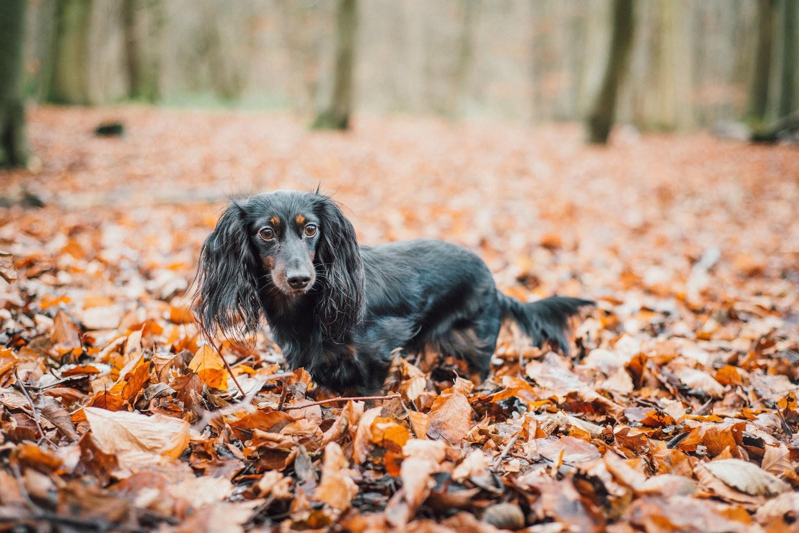 dachshund puppy on a log liquid grain liquidgrain blogger
