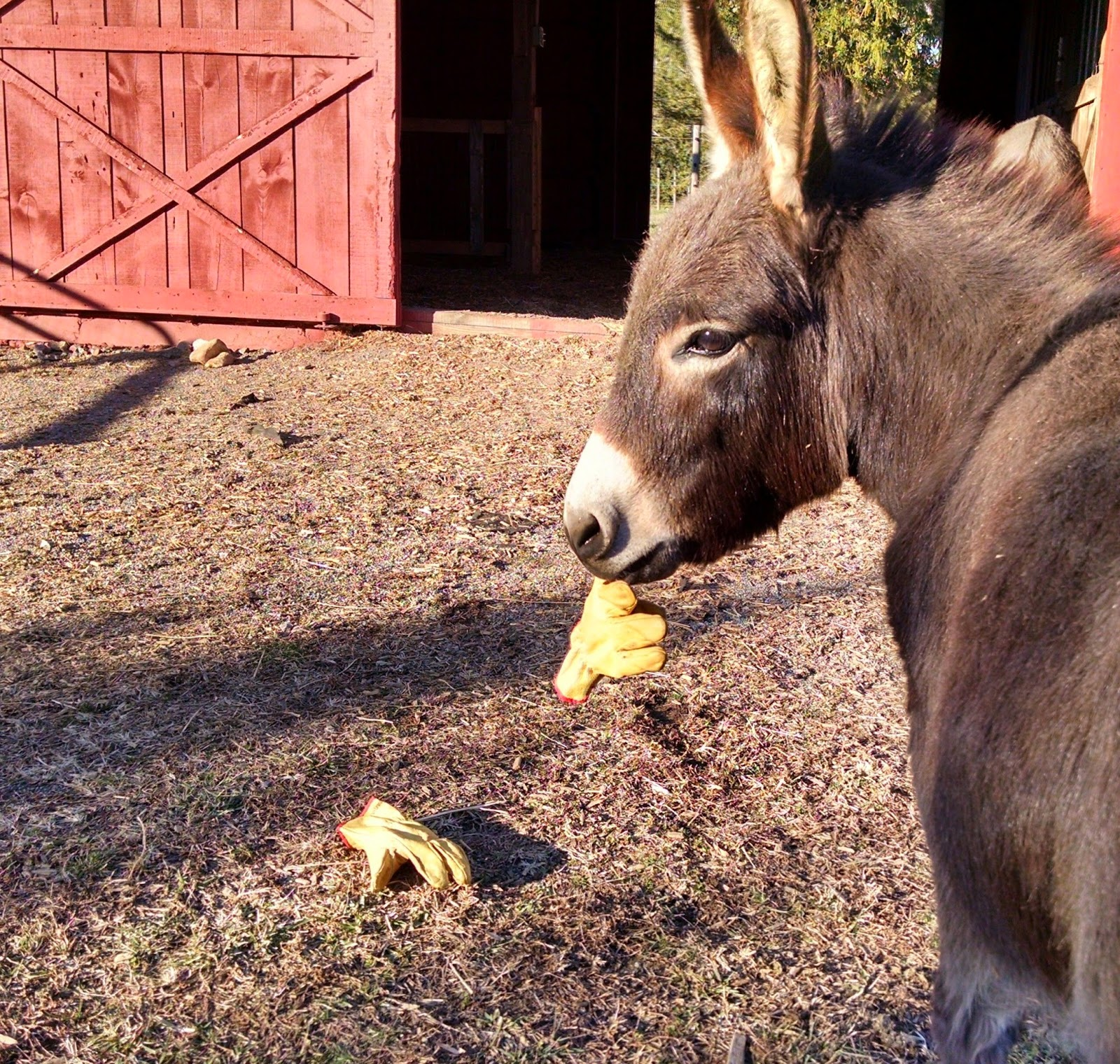 miniature donkey with glove in his mouth