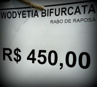 MUdas de PALMEIRA-RABO-DE-RAPOSA - ( Wodyetia bifurcata )
