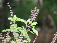 Amazing Tulsi (Basil) Facts in Hindi