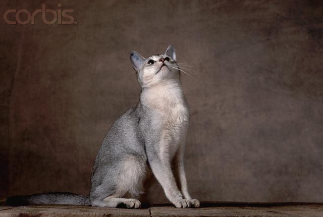 Encyclopedia Of Cats Breed Black Abyssinian Cat