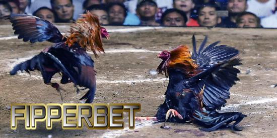 aduan ayam bangkok