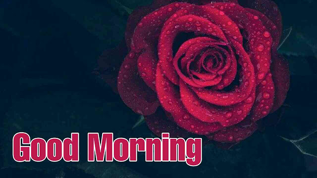 good morning with beautiful red rose flower have a great day