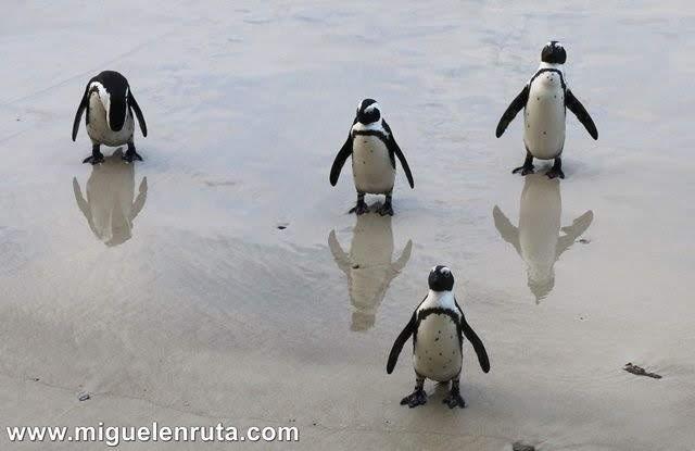 Simon´s-Town-pingüinos-Seaforth-Beach