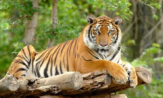 Kepribadian Dari Harimau Untuk pribadimu