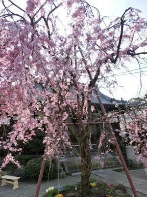 本興寺の枝垂れ桜