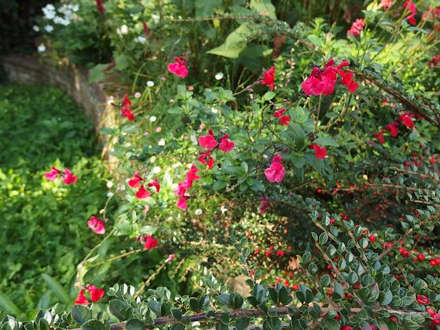 Salvia gregii 'Royal Bumble'