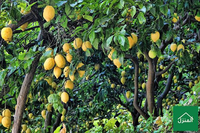 طريقة زراعة شجرة الليمون في المنزل