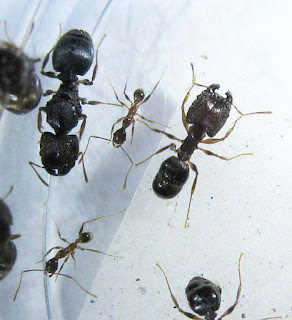 Gyne, major and minor workers of Pheidole sp
