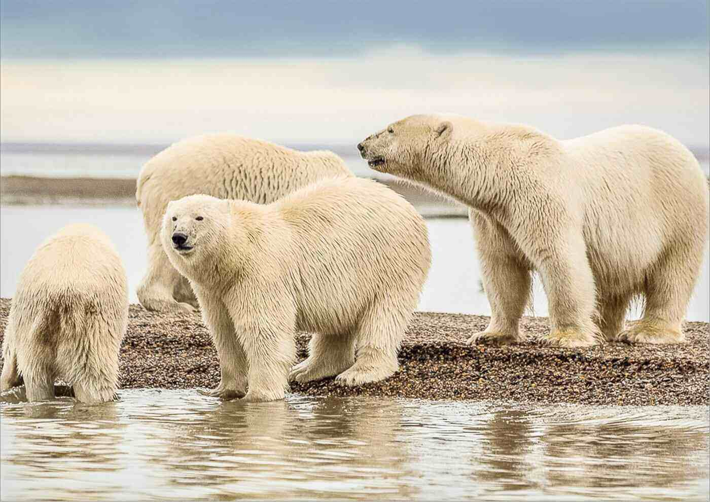 group of polar bears on beach - all about the worlds largest bear species
