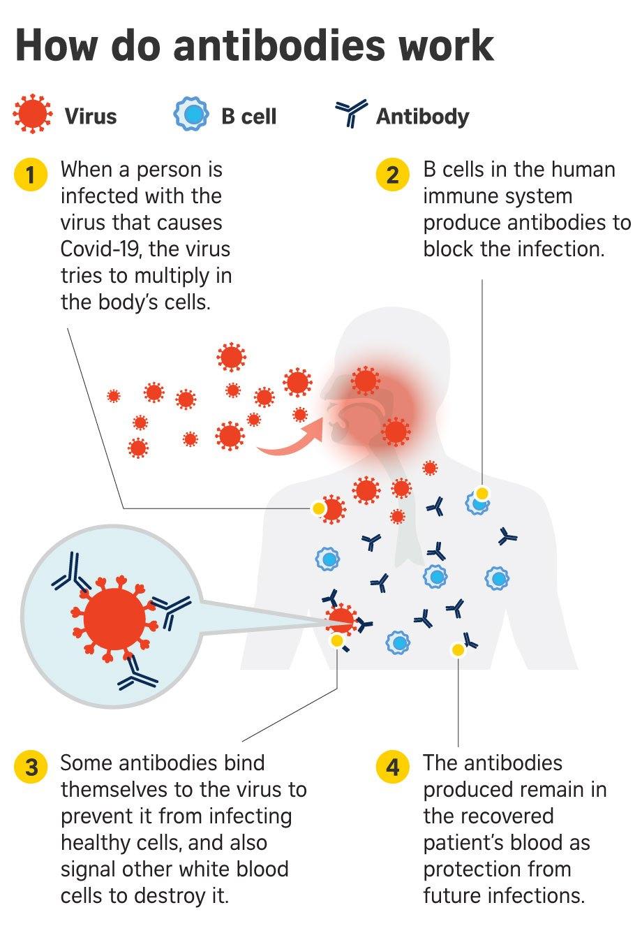 Interesting Green: 5 antibodies that fight Covid-19 ...