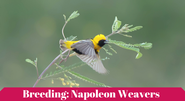 how to breed Yellow-crowned bishop