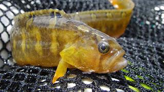 Taeniform, bentuk tubuh pipih melebar pada bagian badan sampai ekor. Contohnya, ikan gunmel.