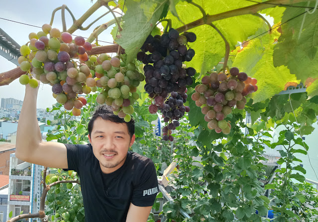 Anh Giàu Nguyễn bên gốc nho trĩu quả