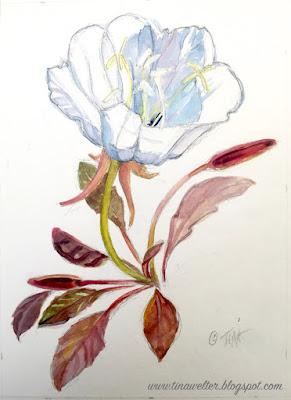 Tufted Evening Primrose, Painting begins ©2020 Tina M.Welter