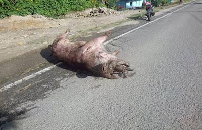 Bangkai babi di medan