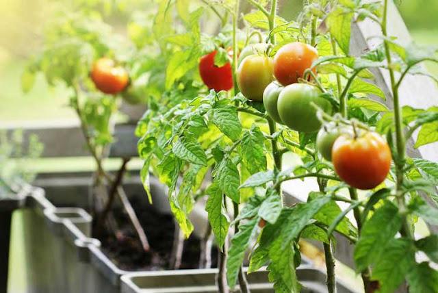 Ciri Ciri Pohon Tomat