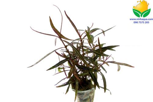 Cây thủy sinh hồ liễu đỏ - Hygrophila sp. 'Araguaia'