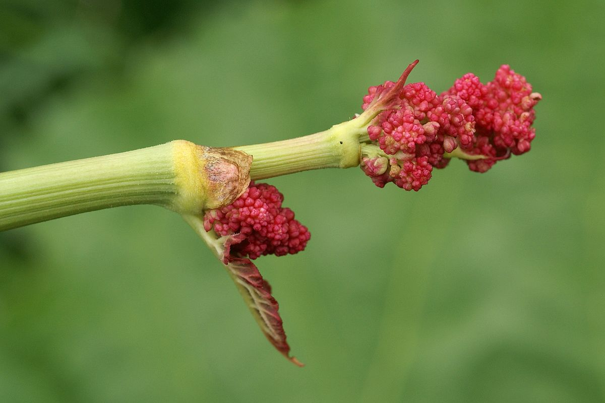 Faaxaal - Photos nature gratuites et libres de droits: Photos de plantes : Rhubarbe sauvage ...