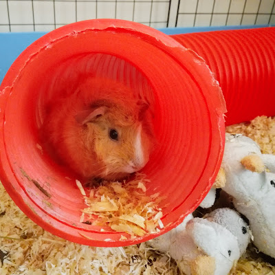 Sunny the guinea pig hiding in tunnel