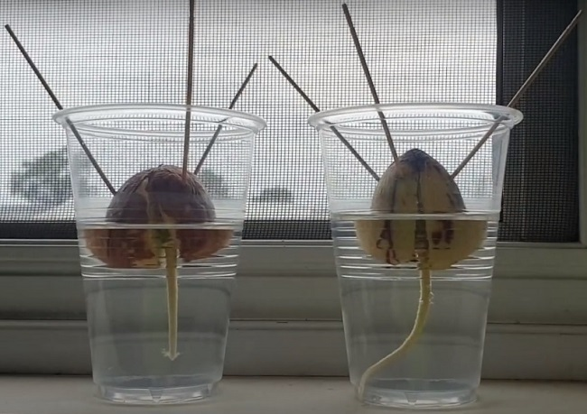 Root sprouting from Avocado Seed