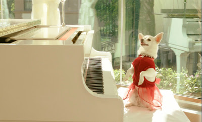 Chihuahua plays the piano