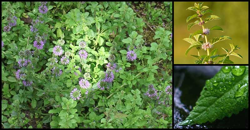 Yerba Buena: A DOH Approved Medicinal Plant That Helps The Body In Many Ways