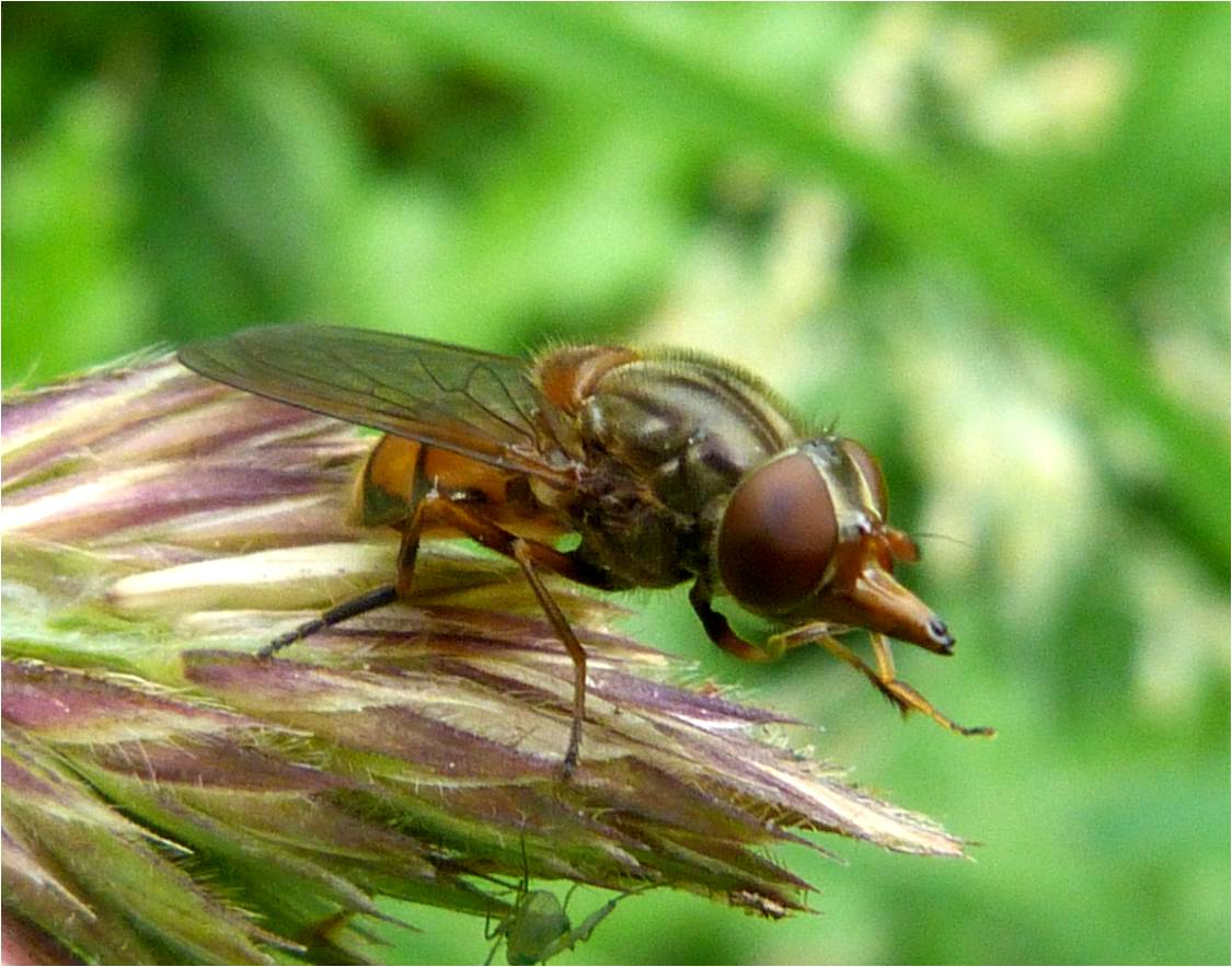 Insects Of Scotland Hoverflies