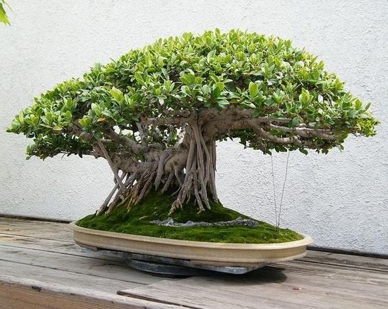 tanaman hias Bonsai beringin