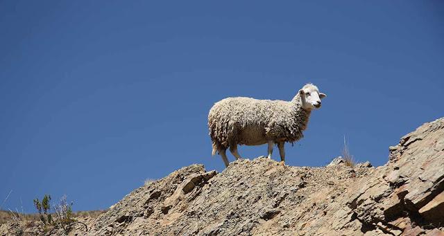 Σύσκεψη για τον έλεγχο του καταρροϊκού πυρετού στα αιγοπρόβατα σε Λακωνία και Μεσσηνία
