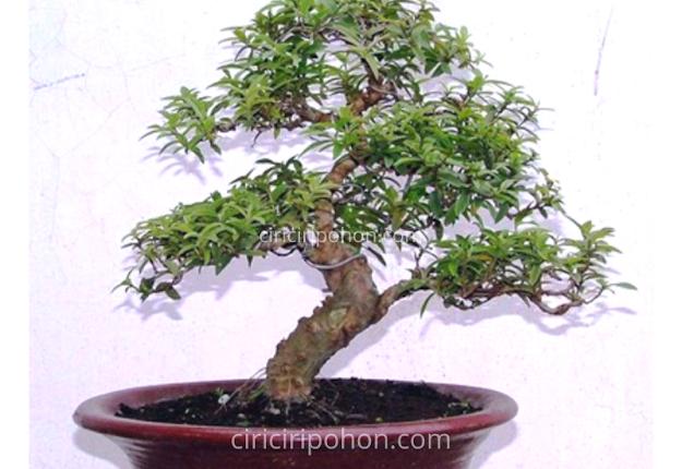 Ciri Ciri Pohon Bonsai Jambu Biji
