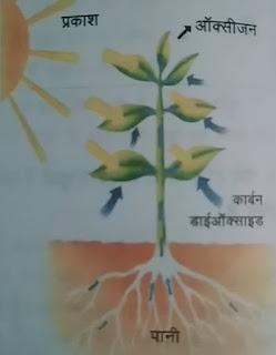 पौधों में प्रकाश संश्लेषण क्रिया