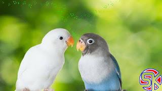 7 Makanan Terbaik Burung Lovebird agar Ngekek Panjang dan Konslet