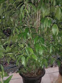 Bunga Bamboo Jepang