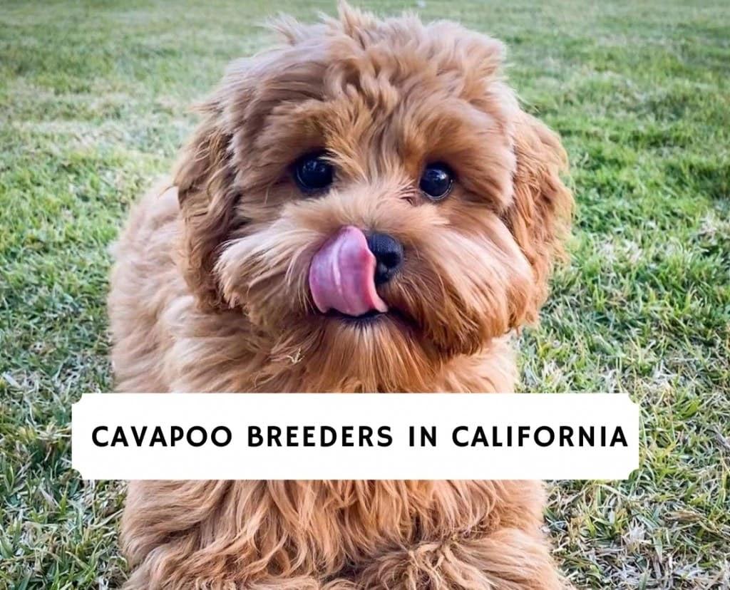 Cavapoo Breeders in California