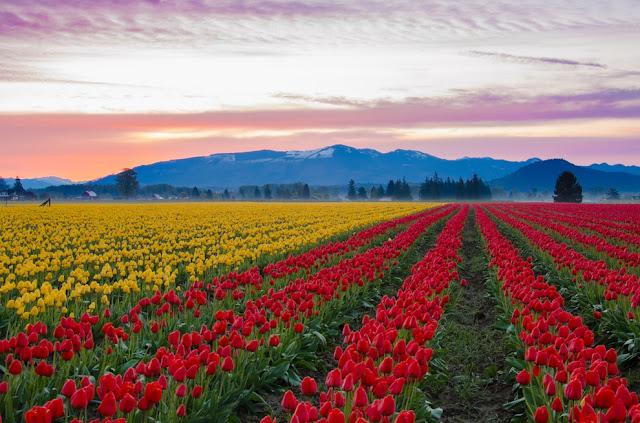 Skagit Valley Tulip-1
