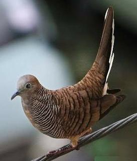 cara membedakan burung perkutut jantan dan betina