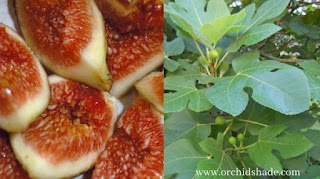 Ripen Fig and Green Leaves