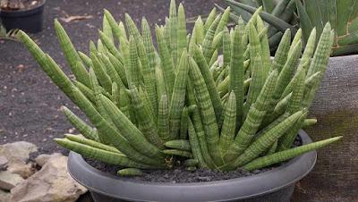 Sansevieria Cylindrica (Skyline)