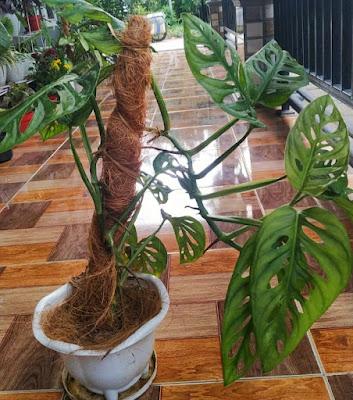 Janda bolong tanaman hias daun