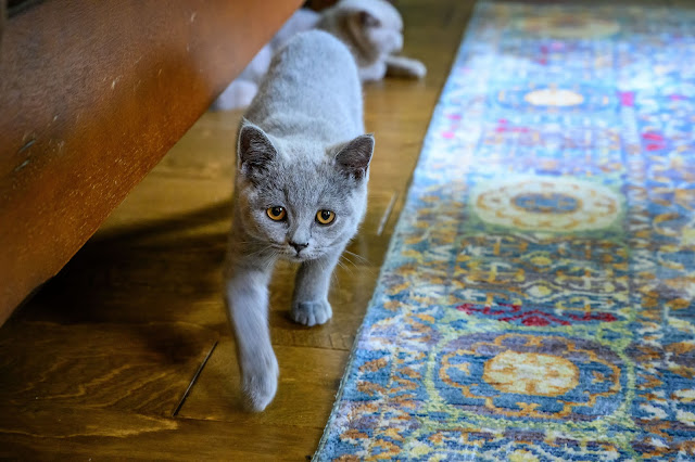 Gumdrop - Blue British Shorthair Kitten