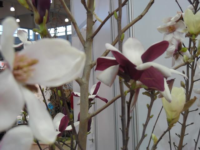 dwukolorowe kwiaty magnolii Old Port