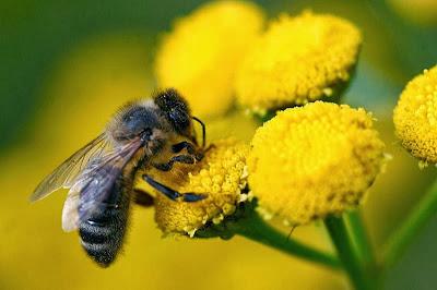 https://bio-orbis.blogspot.com.br/2014/02/abelhas-polinizadoras-ocupadas.html