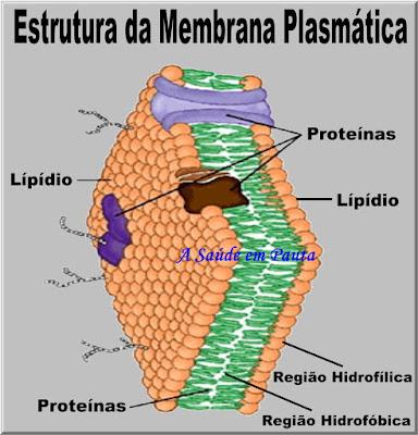 Esquema mostrando um corte longitudinal da membrana plasmática e seus componentes.