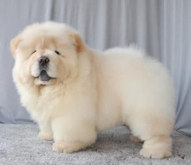 Chow Chow price in Guwahati, Chow Chow cost in Guwahati, cost of golden retriever in Guwahati, price of Chow Chow in Guwahati